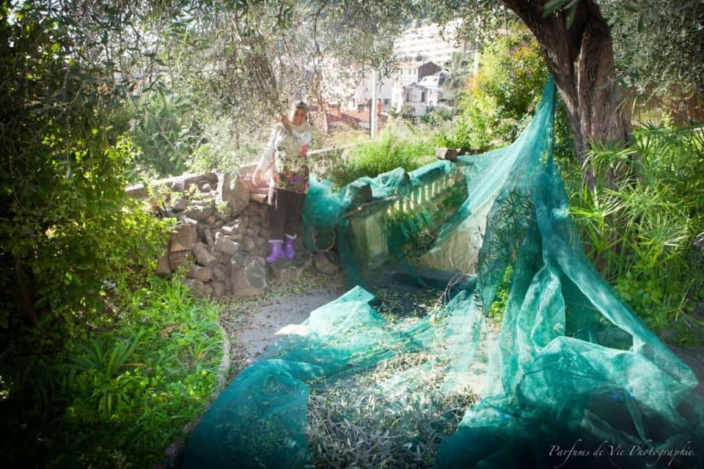 Harvesting olives with nets at Villa des Parfums