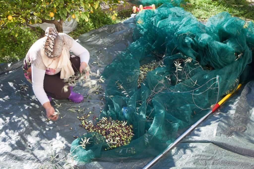 Radhia sorting the olives at Villa des Parfums