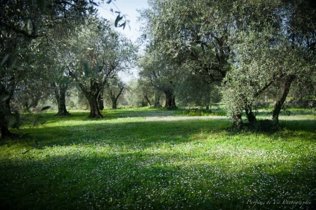 A nearby olive grove in Grasse