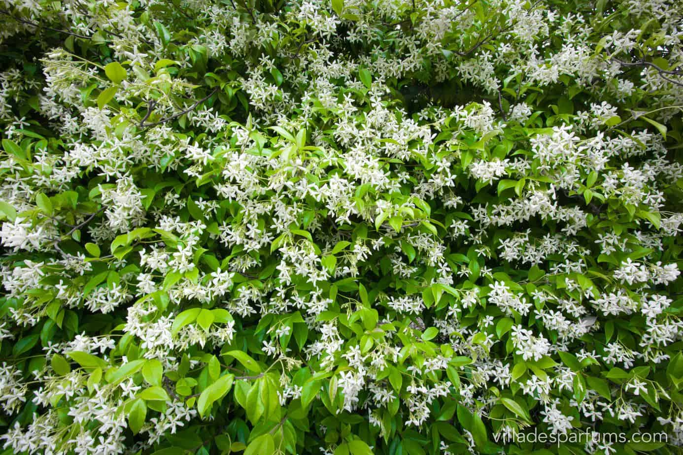 Jasmine in the Perfume Capital